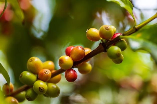 Koffiebonen op koffie groene bladeren