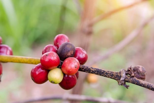 Koffiebonen rijpen, verse koffiebonen op koffieboom