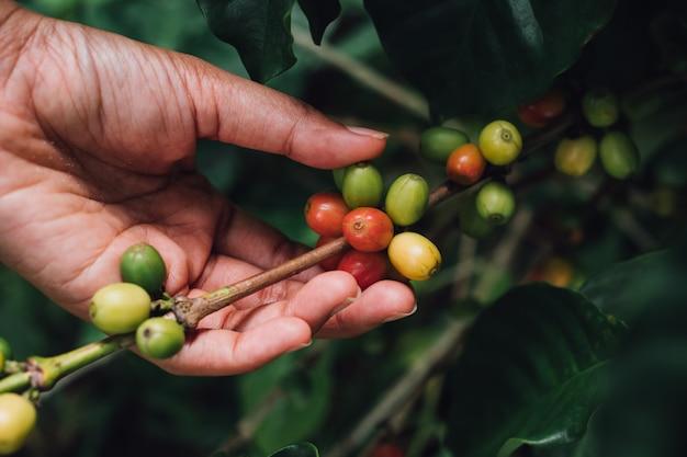 Koffieboom arabica koffiebessen met agronoom hand