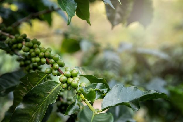 Koffieboom met groene koffiebessen op koffieaanplanting.