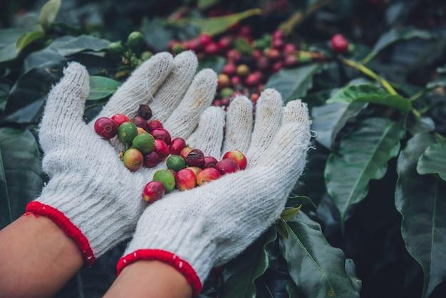 Koffieboom met koffiebonen op koffieplantage, hoe te om koffiebonen te oogsten. arbeider oogst arabica koffiebonen.