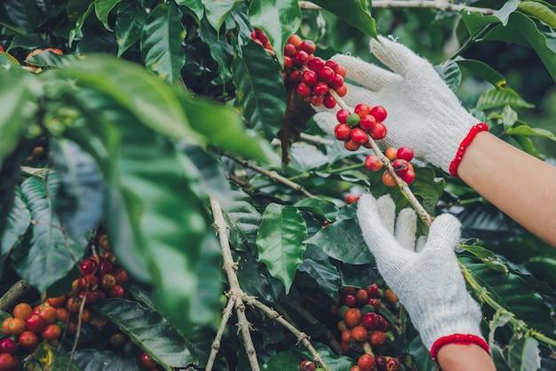 Koffieboom met koffiebonen op koffieplantage, hoe te om koffiebonen te oogsten.