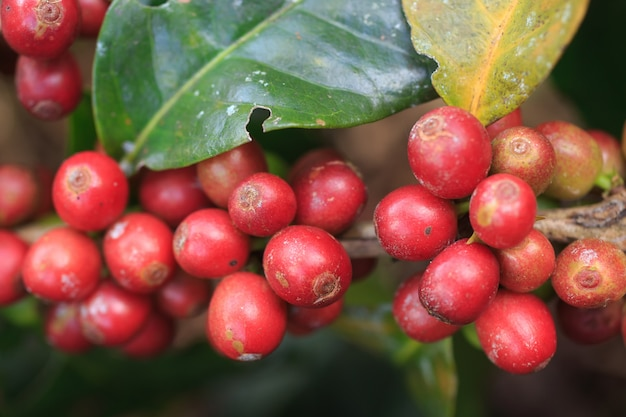 Koffieboom met koffieboon op koffieaanplanting