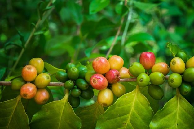 Koffiegewas op boom