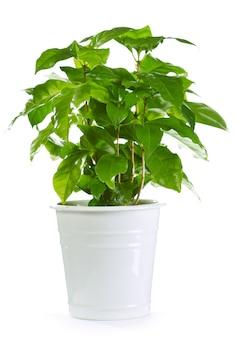 Koffieplant in een geïsoleerde pot