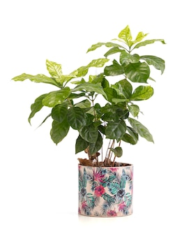 Koffieplanten in een pot op wit