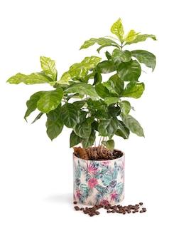 Koffieplanten met bonen in een pot op een wit