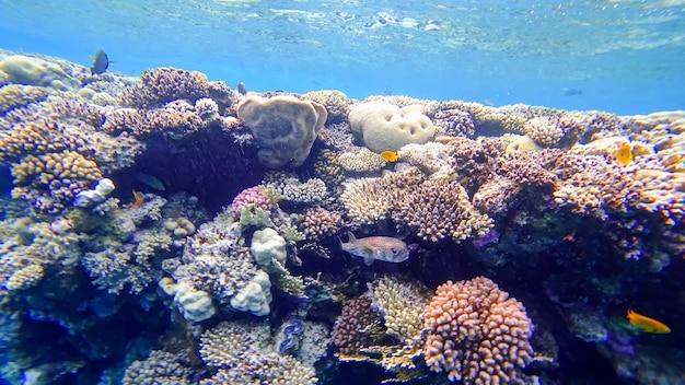 Kogelvis verbergt zich in de buurt van de koralen van de rode zee