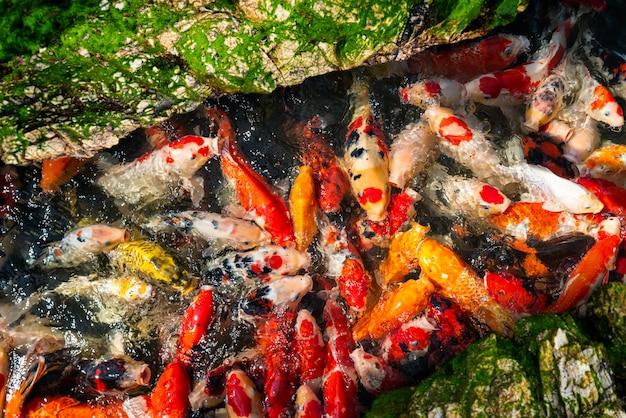 Koi vissen groep zwemmen.
