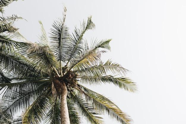 Kokos groene palmbomen tegen witte hemel
