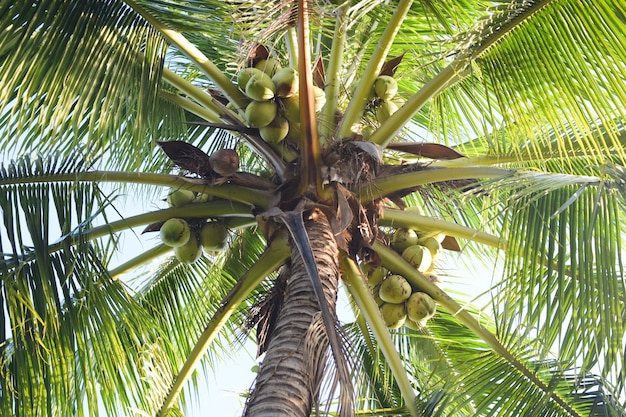 Kokosnoot boom achtergrond