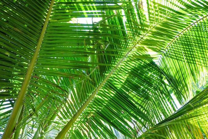 Kokosnoot boom blad