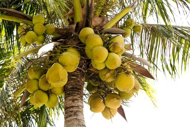 Kokosnoot groeit aan een palmboom