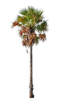 Kokosnoot of palmboom geïsoleerd op een witte achtergrond voor gebruik in architectonisch ontwerp of meer.