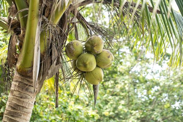 Kokosnoten en palmboom