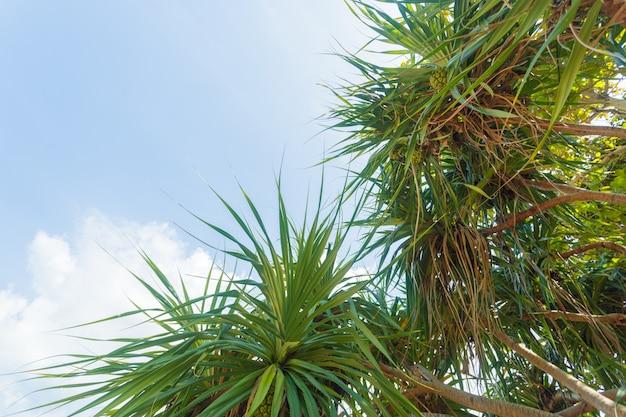 Kokosnotenpalm op hemel