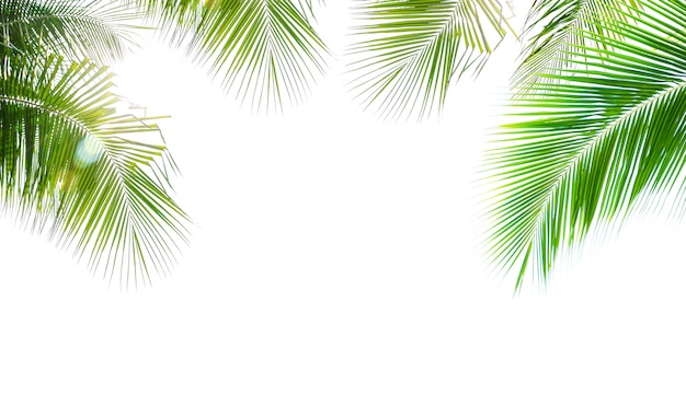 Kokosnotenpalmblad op witte achtergrond wordt geïsoleerd die