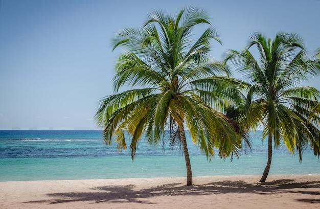 Kokosnotenpalmen op wit zandig strand in saona-eiland, dominicaanse republiek