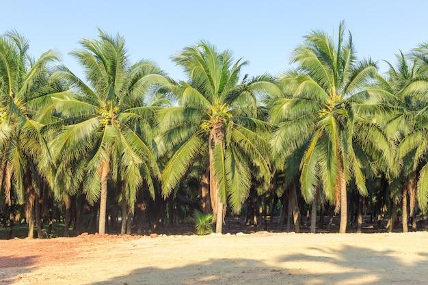 Kokospalm bij damnoen saduak, het beste van het beste kokosnotensap uit thailand
