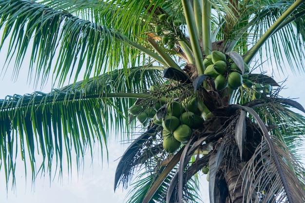 Kokospalm en kokosnotenvruchten die op boommening hangen van onder