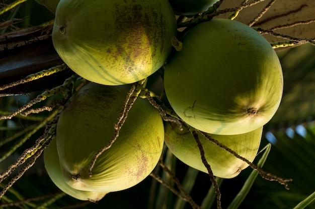 Kokospalm vol kokosnoten op een zonnige dag. parkeren in brazilië.