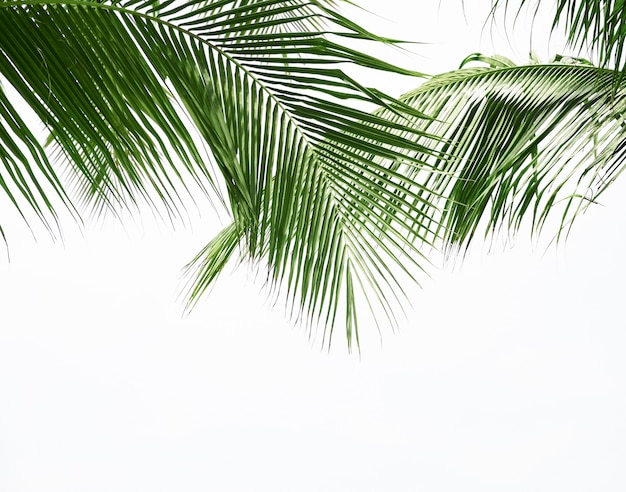 Kokospalmblad op witte achtergrond wordt geïsoleerd die