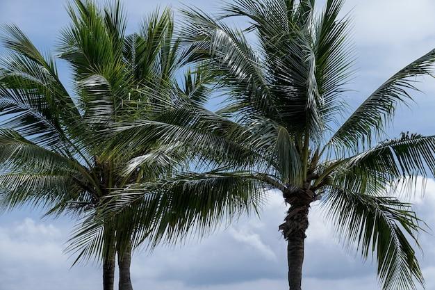 Kokospalmen bij de wind