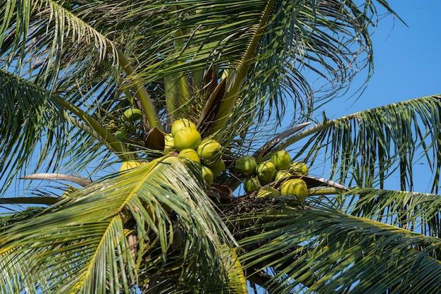 Kokospalmen die veel producten produceren