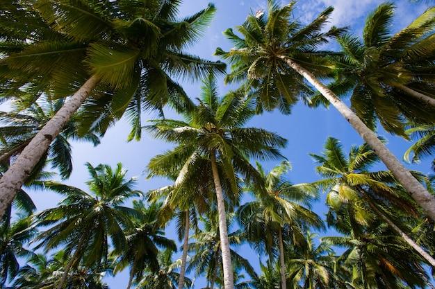 Kokospalmen op blauwe hemel. indonesië. indische oceaan.