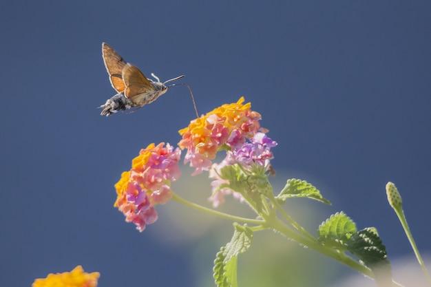 Kolibrie die naar bloem vliegt