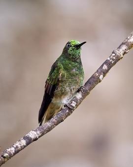 Kolibrie met heldere kop zat op een tak