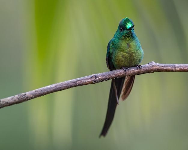 Kolibrie met lange staart die op een horizontale tak neerstrijkt