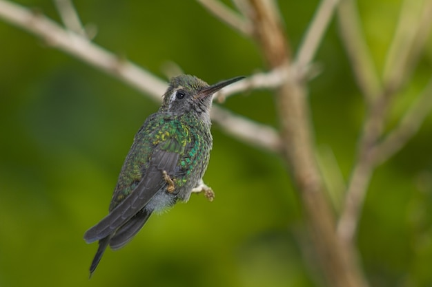 Kolibrie neergestreken op boomtak
