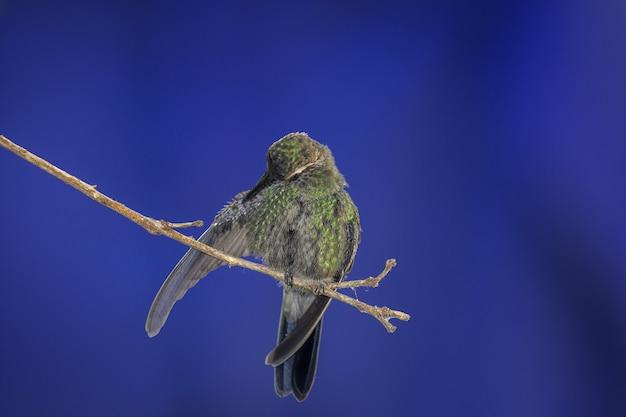 Kolibrie neergestreken op een boomtak op blauw