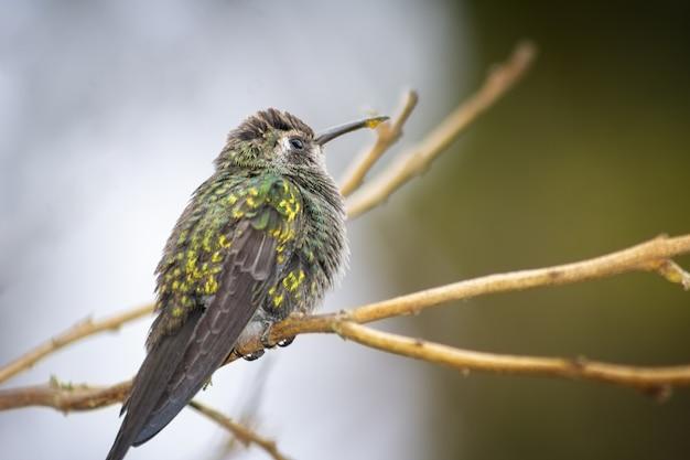 Kolibrie neergestreken op een boomtak