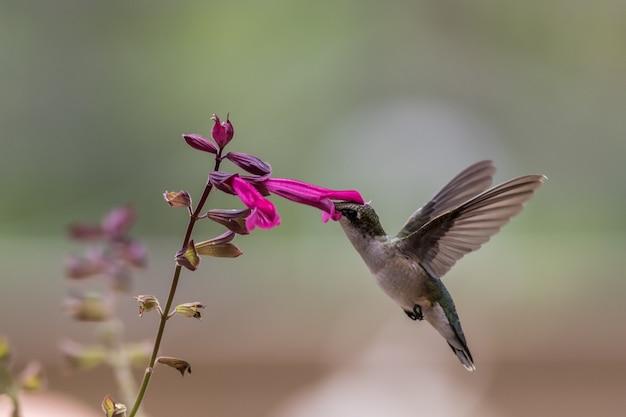 Kolibrie op bloem