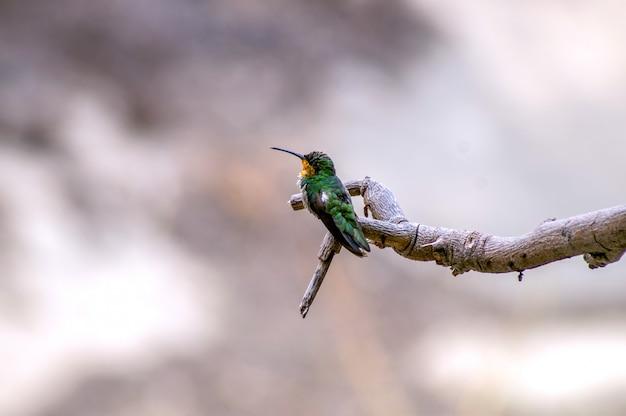 Kolibrie op een tak