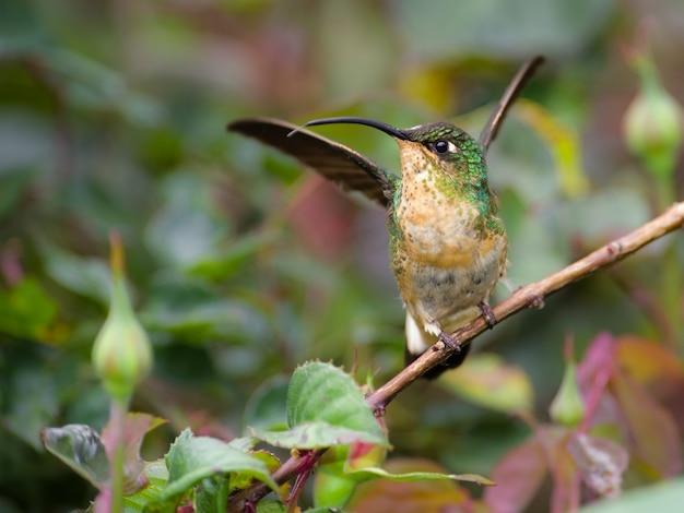 Kolibrie op zijn toppositie die voorbereidingen treft te vliegen
