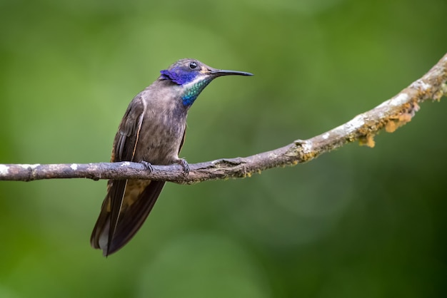 Kolibrie op zoek naar insecten uit een kleine droge tak