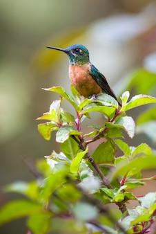 Kolibrie vrouwtje rusten op een kleine struik