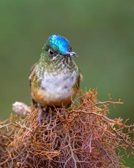 Kolibrie zat op droog mos in het tropische woud van choco