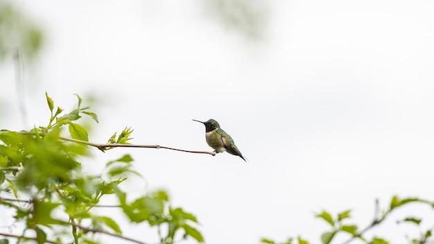 Kolibrie zat op een boomtak