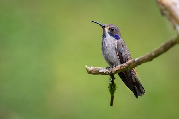 Kolibrie zat stil op een kleine droge tak