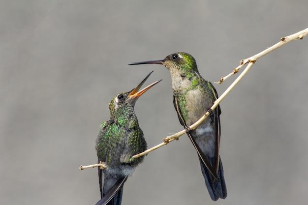 Kolibries neergestreken op een boomtak
