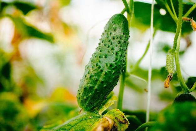 Komkommer groeit op een tak close-up