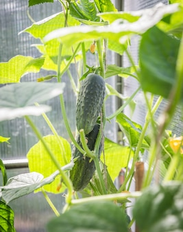 Komkommer in de tuin