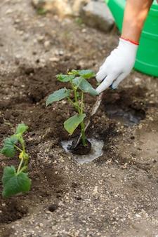 Komkommer zaailing. werkt op tuinieren.