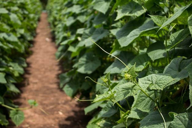 Komkommerplant in tuin van thailand zuidoost-azië