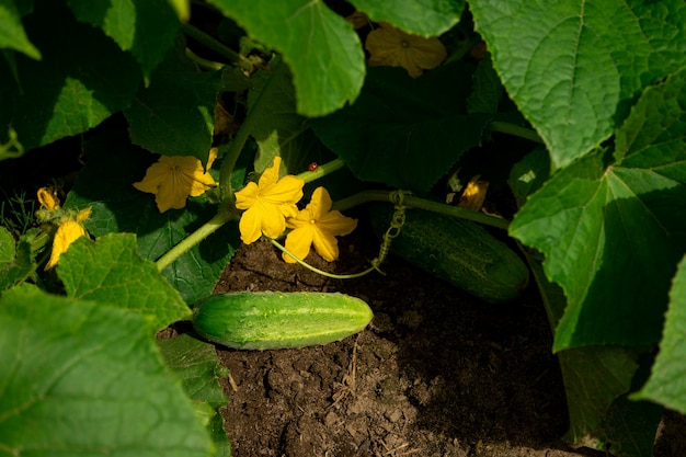 Komkommers die in de zomer in een moestuin groeien met groen fruit en gele bloemen