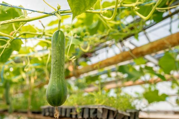 Komkommers groeien in een kas, gezonde groenten zonder pesticiden
